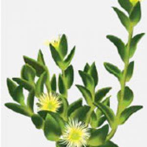 sceletium-tortuosum – Afrigetics Botanicals