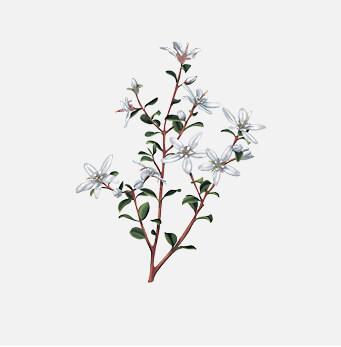 afrigetics-botanicals-products-agathosma-betulina-buchu