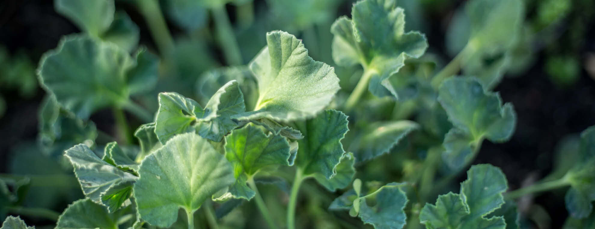 afrigetics-botanicals-pelargonium-sidoides-pela-power-extract-plant-leafs