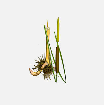 afrigetics-botanicals-products-Typha-capensis-bulrush