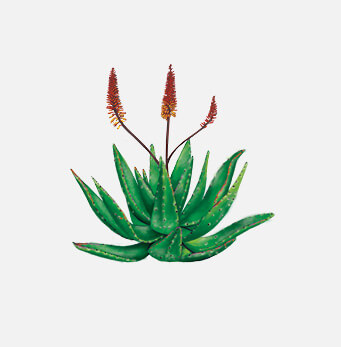 afrigetics-botanicals-products-aloe-ferox