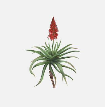 afrigetics-botanicals-products-aloe-arborescens