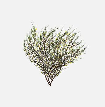 afrigetics-botanicals-products-aspalathus-linearis-rooibos