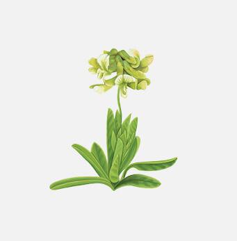 afrigetics-botanicals-products-bangalala-eriosema-kraussianum