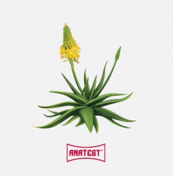 afrigetics-botanicals-products-bulbine-natalensis-anatest